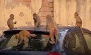 Đàn khỉ hàng nghìn con gieo sợ hãi ở thủ đô Ấn Độ