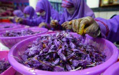 Nhân viên tách nhụy hoa trong xưởng công ty Tila-e-Surkh Afghan hôm 12/12. Ảnh: AFP.