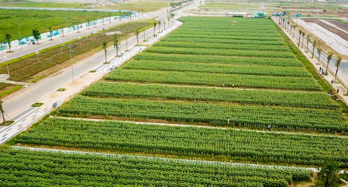 Cánh đồng hoa hướng dương rộng 18.000 m2 ở Sài Gòn