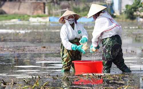 Công nhân thu gom dầu loang trên cánh đồng ở Quảng Hưng sáng 20/12. Ảnh: Lê Hoàng.