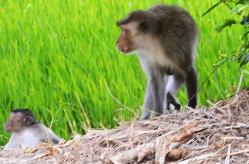 Đàn khỉ hoang ở Sóc Trăng. Ảnh: Hoàng Táo.