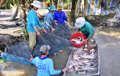 Thu nhập cao từ nuôi cá trên ruộng lúa