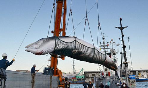 Một con cá voi mũi nhọn cập cảng Kushiro hôm 4/9/2017 vì mục đích nghiên cứu. Ảnh: Mainichi.