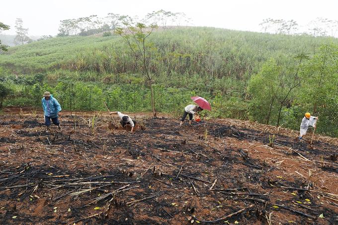 Sâu đục thân cây mía được bắt làm đồ nhậu ở Thanh Hóa