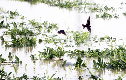 Gần 70 hecta dưa hấu bán Tết chìm trong nước sau bão Pabuk
