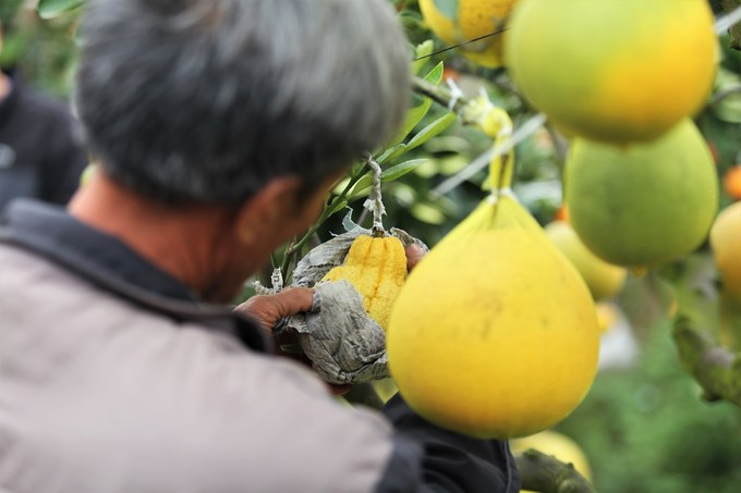 Cây cảnh ghép 10 loại quả của lão nông Hà Nội