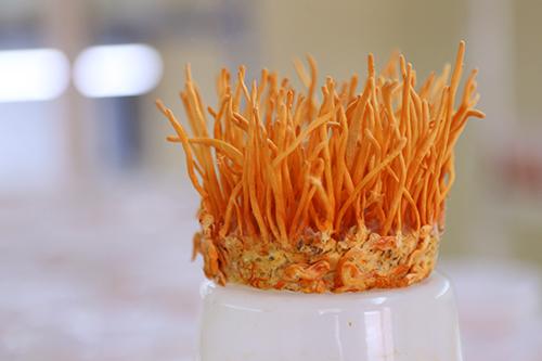 Dược liệu đông trùng hạ thảo được trồng ở đèo Sa Mù Ảnh:Hoàng Táo