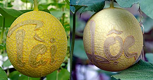 Dưa lưới khắc chữ tại trang trại của nông dân Trần Thanh Tiền. Ảnh: An Phú