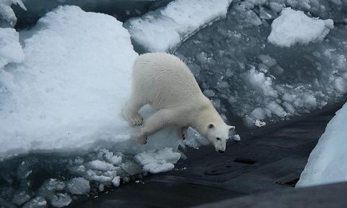 Gấu Bắc Cực trèo lên tàu ngầm hạt nhân Nga để kiếm ăn