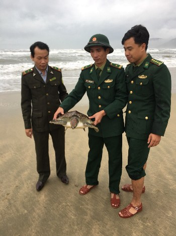 Rùa biển nặng 10 kg dính lưới ngư dân Thừa Thiên Huế - ảnh 1