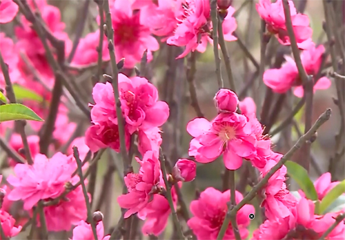 Trời nắng ấm, hoa đào nở rộ dù chưa đến Tết.