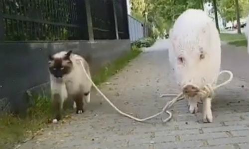 10 truyện cười hài hước về lợn dịp Tết Kỷ Hợi - 4