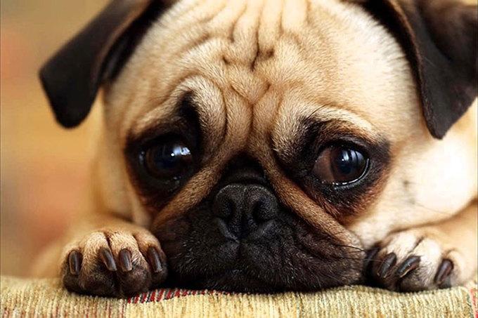 Chó chảy nước mắt nhiều - nguyên nhân do đâu?