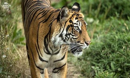 Hổ cái Melati chết thảm ngay lần đầu tiên gặp mặt bạn tình tiềm năng. Ảnh: Vườn thú London.