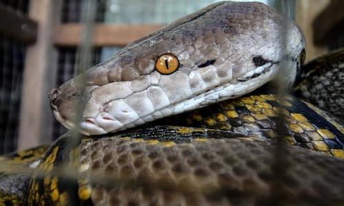 Cảnh sát Papua dùng rắn hỏi cung nghi phạm. Ảnh: Fachrul Reza.