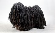 Thành viên có bộ lông dài và dày bậc nhất trong họ Chó