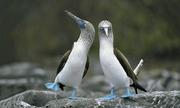 """Vũ điệu """"khoe chân"""" giúp tán tỉnh bạn tình của loài chim điên"""