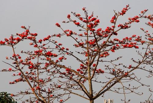 Hoa gạo nở rộ trên đường phố Huế trong nhữngngày tháng 2. Ảnh: Võ Thạnh