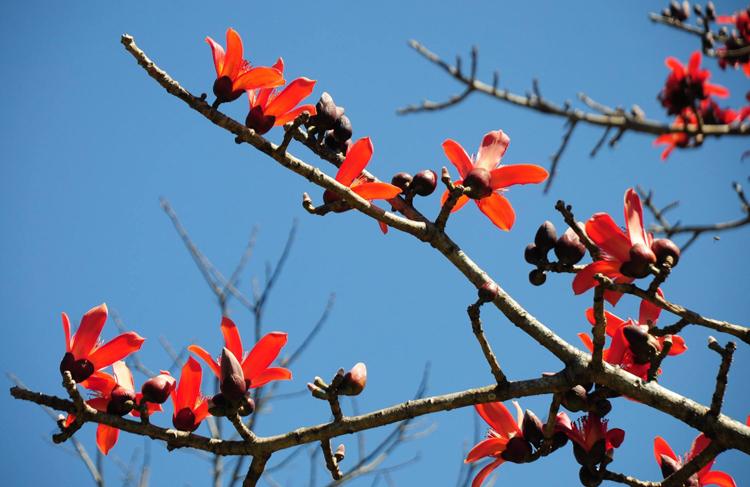 Hoa gạo Điện Biênnở rộ, sớm hơn bình thường một thángdo trời ấm. Ảnh:Lưu Hồng Sơn.