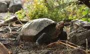 Loài rùa tái xuất sau hơn một thế kỷ vắng bóng trên Trái Đất