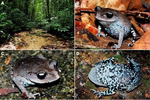 Môi trường sống và ảnh ngoài tự nhiên của loài ếch mới.Ảnh Parinya Pawangkhanant.