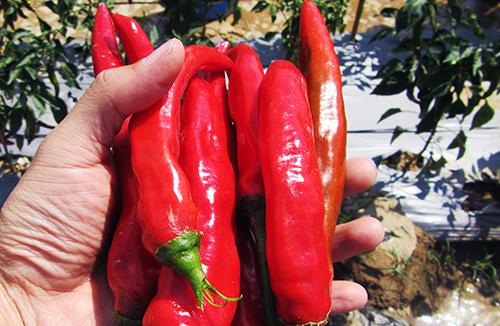 Giống ớt Hàn Quốc được đánh giá cho quả to, thơm ngon. Ảnh: Thanh Châu