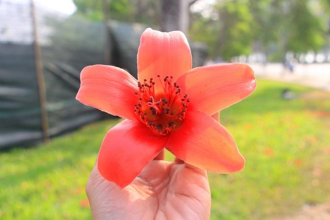 Mùa hoa gạo nở rộ vào tháng 3 ở xứ Huế