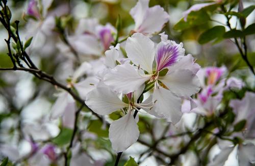Tháng 3, hoa ban ở Hà Nội đang nở đẹp. Ảnh: Kiều Dương