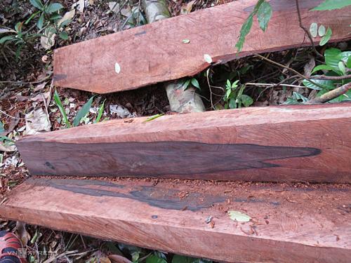 Gỗ quý bị đốn hạ, xẻ phách mang đi, chỉ còn lại các tấm bìa ở vùng lõi vườn quốc gia Phong Nha - Kẻ Bàng. Ảnh: Ng.Ph