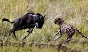 Bị đàn bỏ rơi, linh dương non đánh bại cả bầy báo săn
