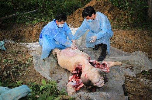 Cán bộ thú y lấy mẫu bệnh lợn nái chết phát hiện vi rút dịch tả lợn châu Phi. Ảnh: An Bình.