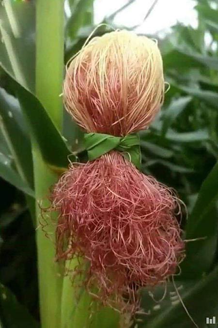 Bạn thích làm tóc nhưng bố mẹ bắt đi trồng ngô - 1