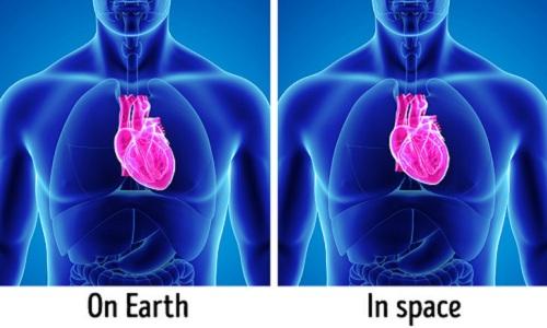 Trái tim sẽ thuôn dài hơn khi ở trên Trái Đất (hình bên trái) và thay đổi hình dạng khi con người vào không gian. Ảnh: Depositphotos