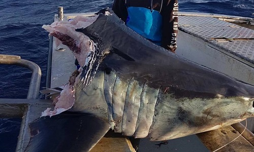 Chiếc đầu cá mập mako nặng khoảng 100 kg. Ảnh: Facebook.