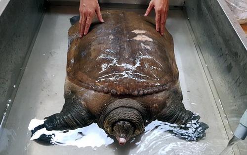 Con cua đinh nặng 42kg đang được đưa vào chùa phục hồi sức khỏe. Ảnh: Phước Tuấn