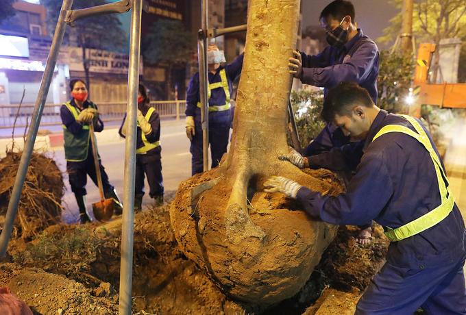 Công nhân trắng đêm thay thế cây xanh sâu mục ở Hà Nội