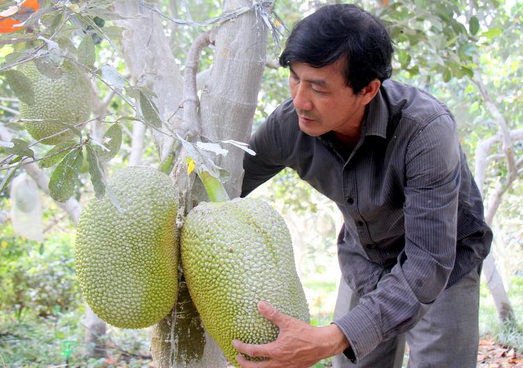 Nông dân lãi lớn nhờ giá mít Thái cao kỷ lục