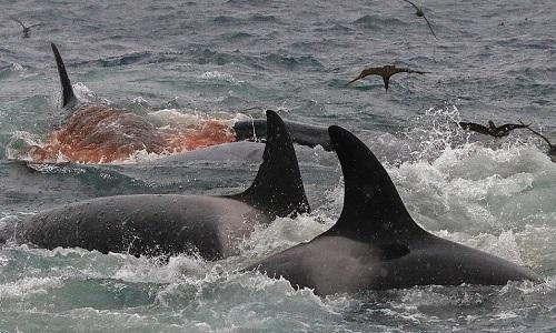 Máu chảy ra từ nhiều vết thương trên mình cá voi xanh. Ảnh: Sun.