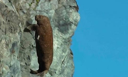 Hải mã chết thảm khi gieo mình khỏi vách đá dốc đứng