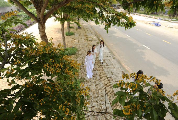 Hoa sưa vàng nở rộ trên đường phố ở Quảng Nam
