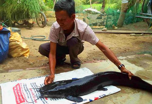 Con cá trê nặng gần 12kg được ông Cơi xây bể nuôi làm cảnh. Ảnh: Văn Bình