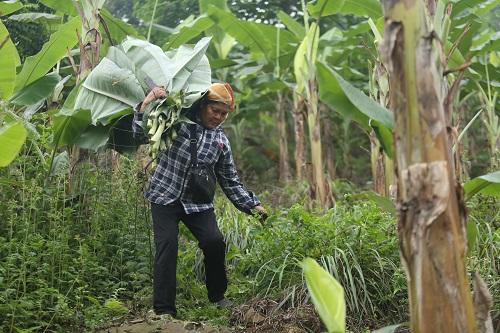 Chuối được trồng trên núi đá ở Hòa Bình. Ảnh: Gia Chính