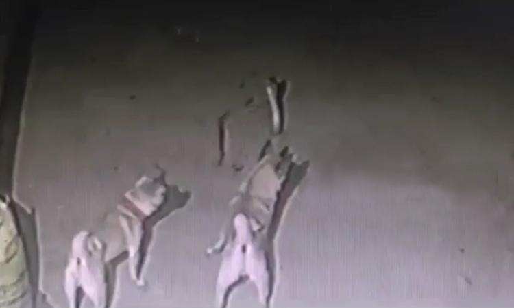 Đàn chó liều chết bảo vệ chủ khỏi rắn hổ mang