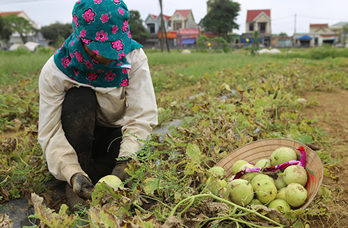 Người dân hái dưa bị mắc bệnh để bán với giá rẻ. Ảnh: Nguyễn Hải.