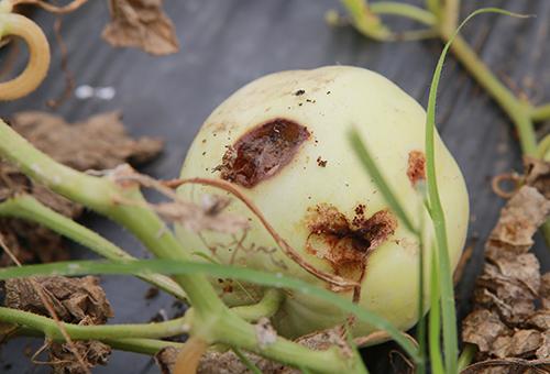 Quả dưa bị thối ngay trên cây. Ảnh: Nguyễn Hải.