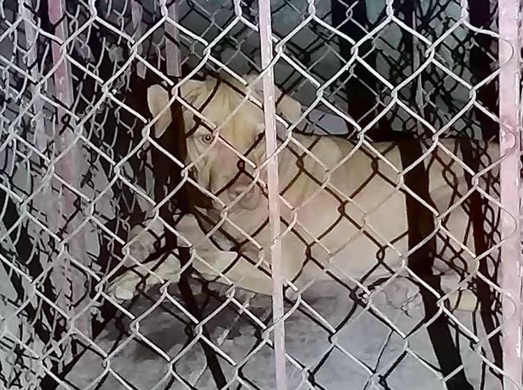 Chó bị bắt nhốt sau khi tấn công bà Dung. Ảnh: Đ.H