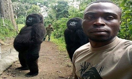 Khỉ đột đứng thẳng 'tự sướng' cùng cán bộ bảo vệ rừng