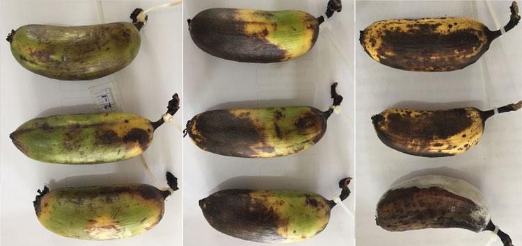 Mẫu chuối bảo quản bằng dung dịch chitosan với biến tính polyphenols tỷ lệ 2:1 (trái), bảo quản bằng chitosan (giữa) và không được bảo quản (phải) sau 10 ngày ở nhiệt độ phòng. Ảnh: NVCC.