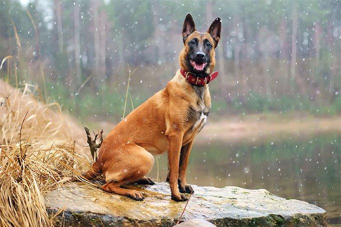 Giống chó Malinois được đặc vụ Mỹ ưa dùng làm chó mật vụ.