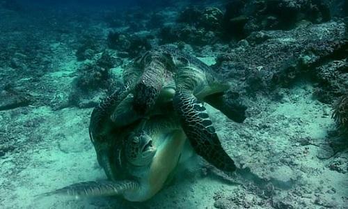 Rùa cái bị đè tới suýt chết vì ngộp thở. Ảnh: SWNS.